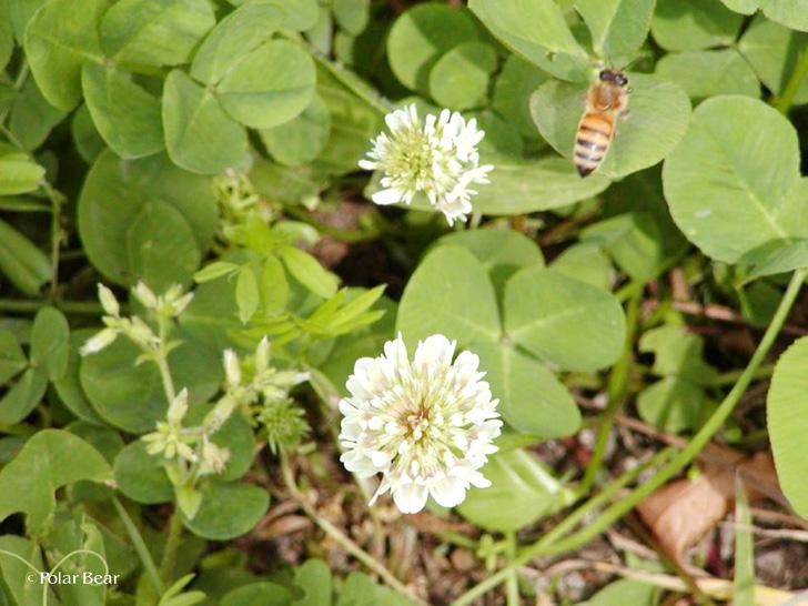 シロツメクサ クローバー ミツバチ