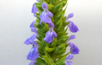 チアシードの花 chiaseeds
