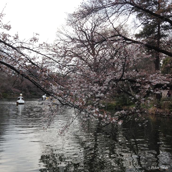 井の頭公園の桜 2017年3月末の様子
