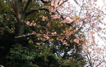 早稲田大学の桜