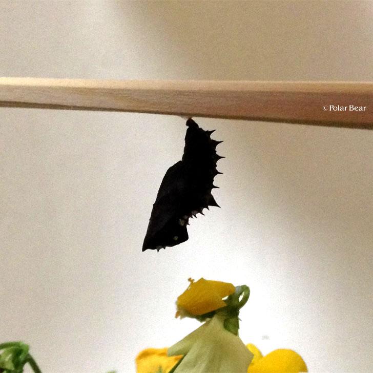 ツマグロヒョウモン 蛹
